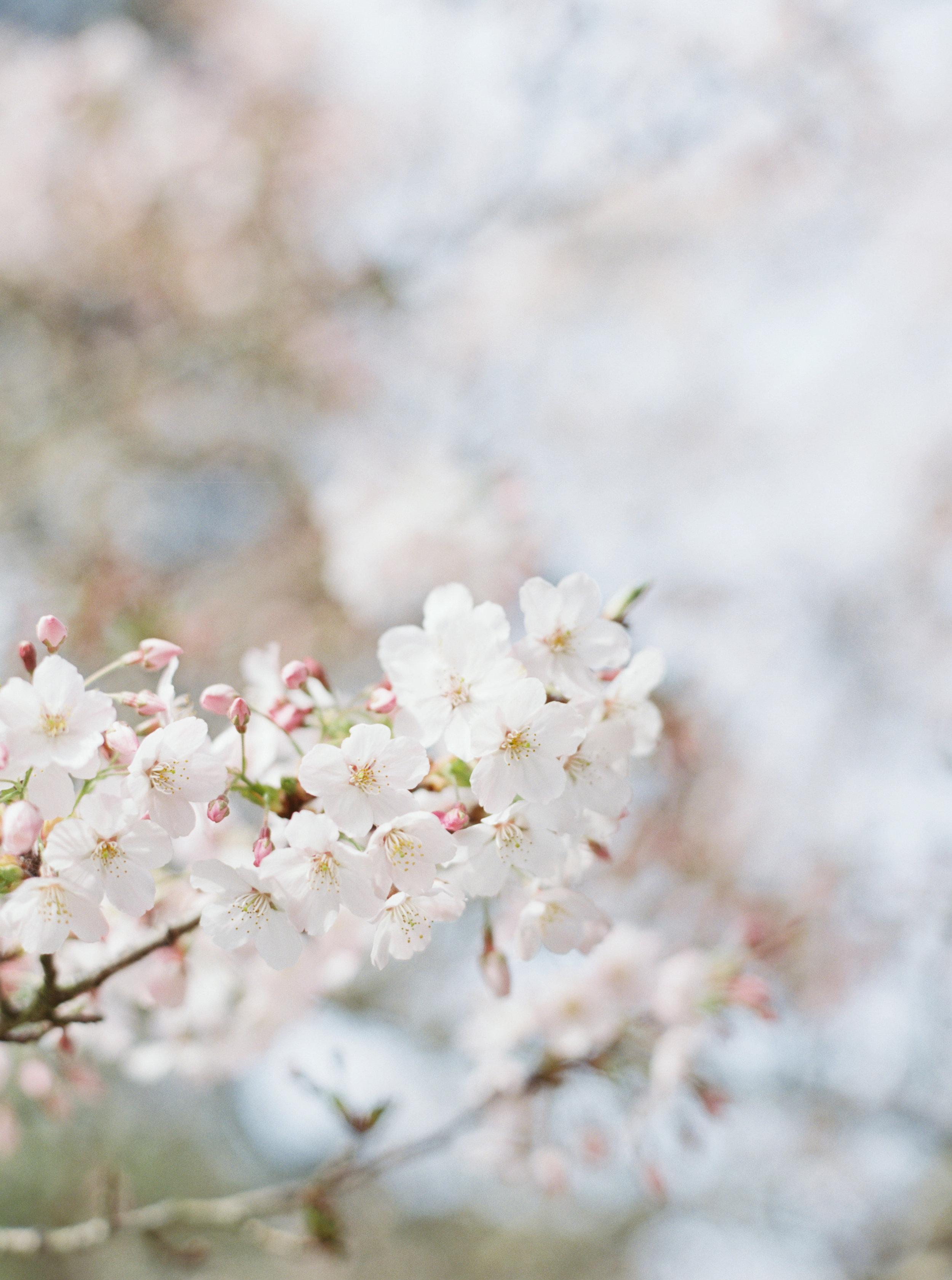 Cherry Blossoms shot on film - www.robbiegene.com - Robbie Gene Photography - San Francisco Photographer - San Francisco - Bay Area - California - 20193.jpg
