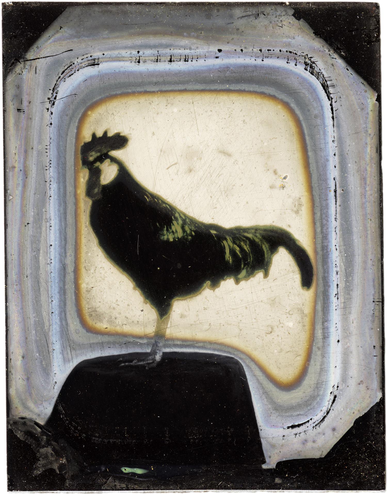 Rooster, 2012 - LR12141