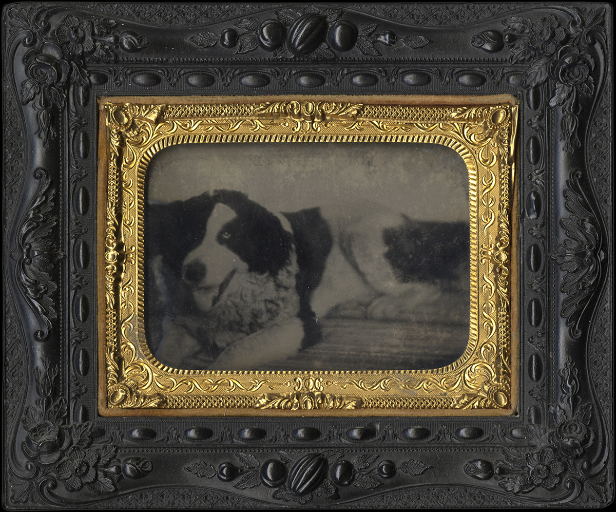 Portrait of a Black-and-White Dog on a Wooden Floor