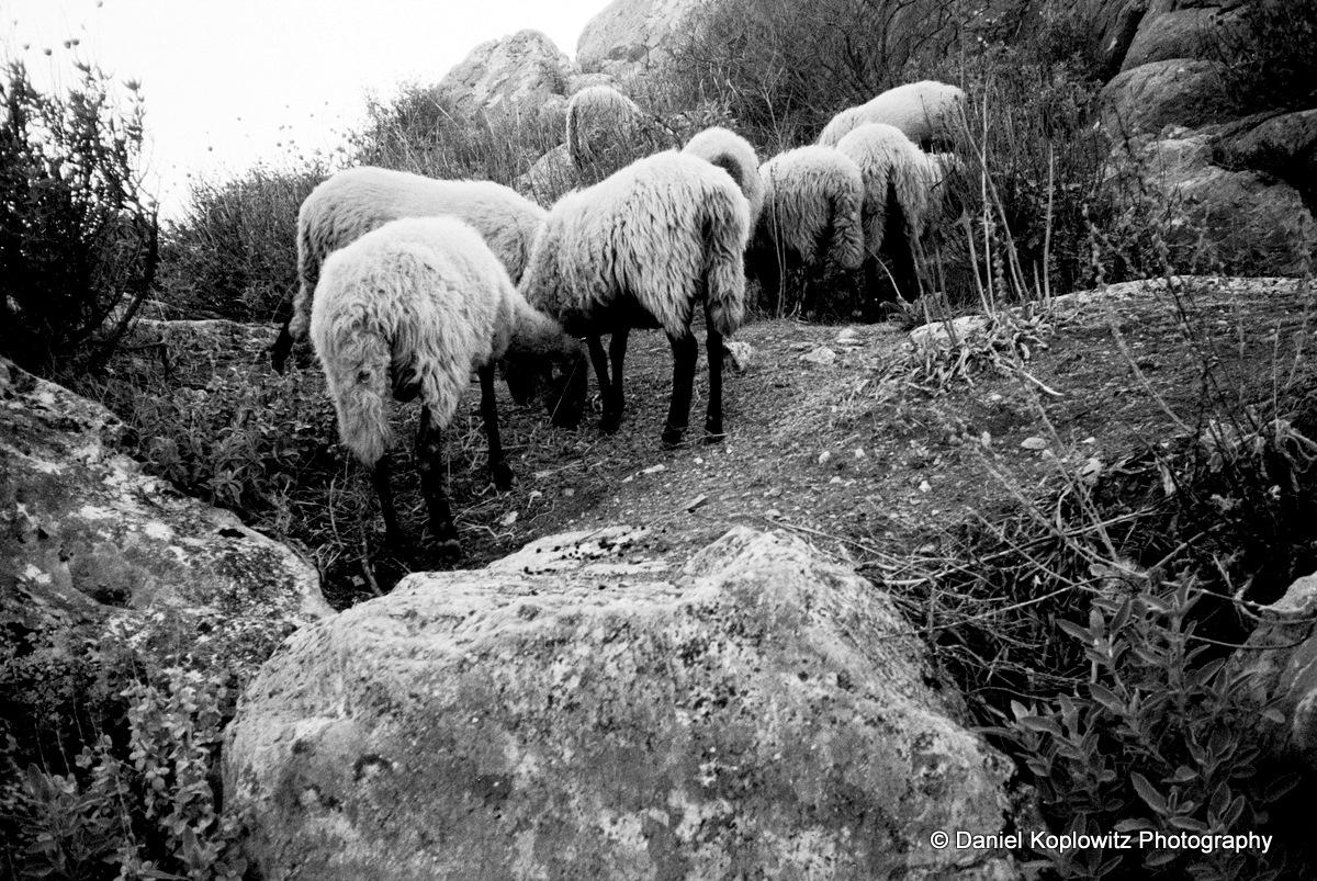 Super Corinth sheep and rocks copy.jpg