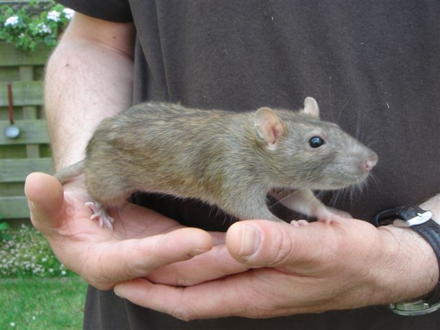 1020 - Rat Pauline