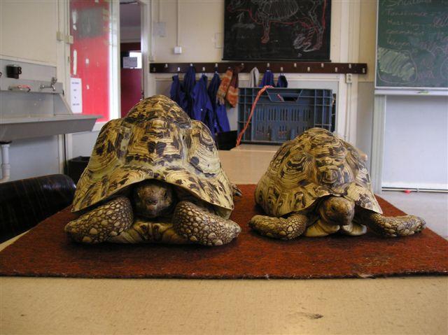741 - Landschildpadden