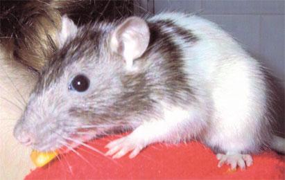 527 - Rat