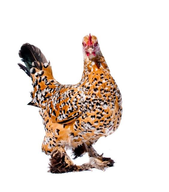 Chicken! (1 of 1)_2.jpg