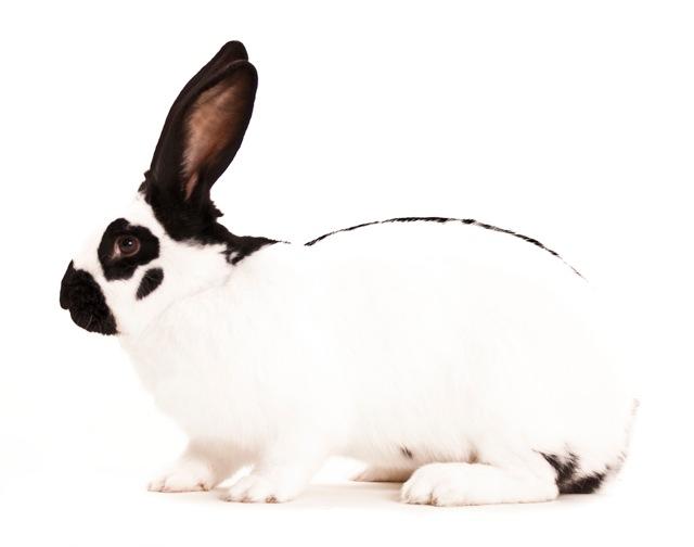 2009 - Zwartwit konijn