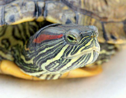 2009 - Roodwangschildpad