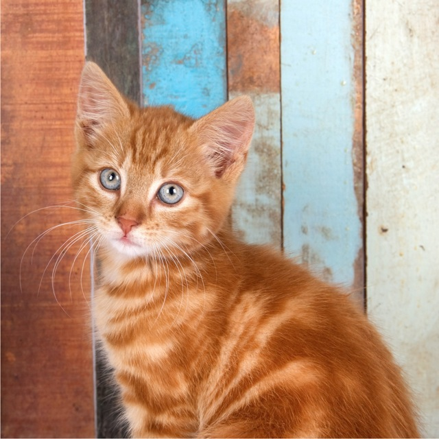 A square portrait of a ginger kitten against a_colored wooden background (1 of 1).jpg