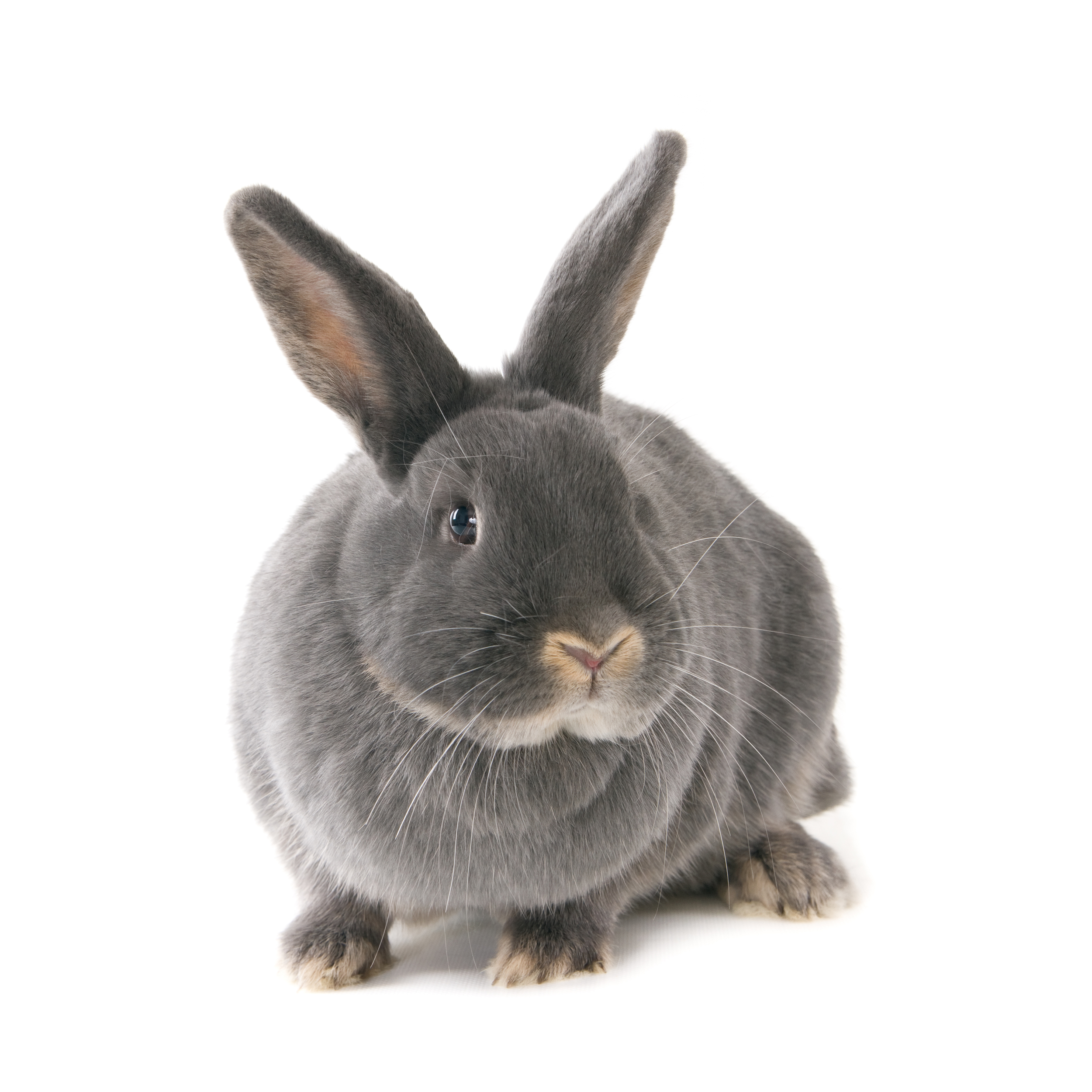 20000-grijs konijn
