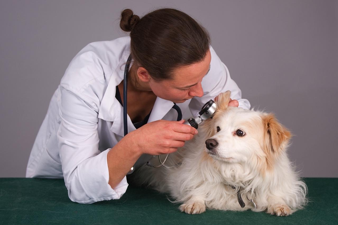 Veterinarian looking in a dog's ear (1 of 1).jpg