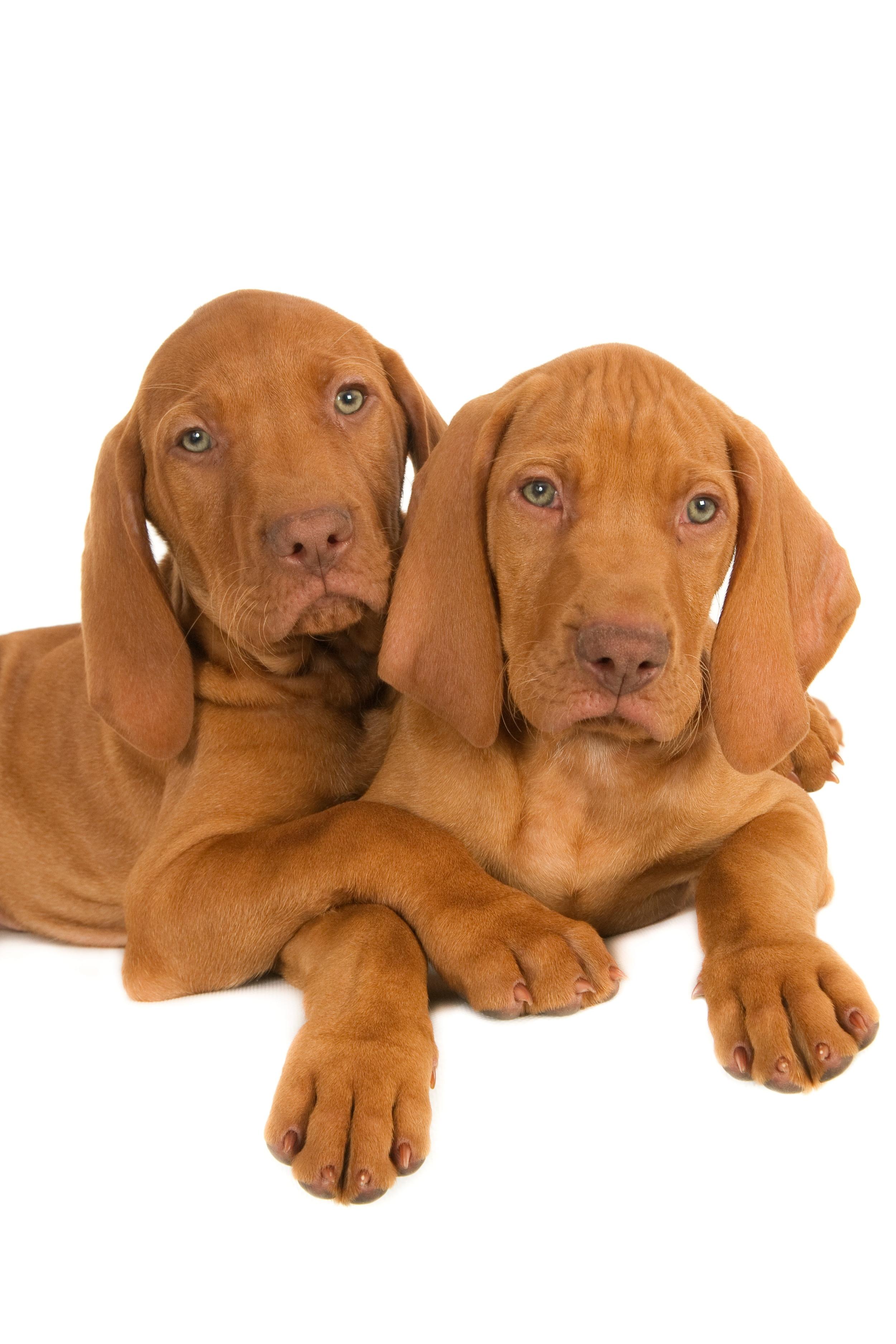 Two Magyar Vizsla puppy friends (1 of 1).jpg