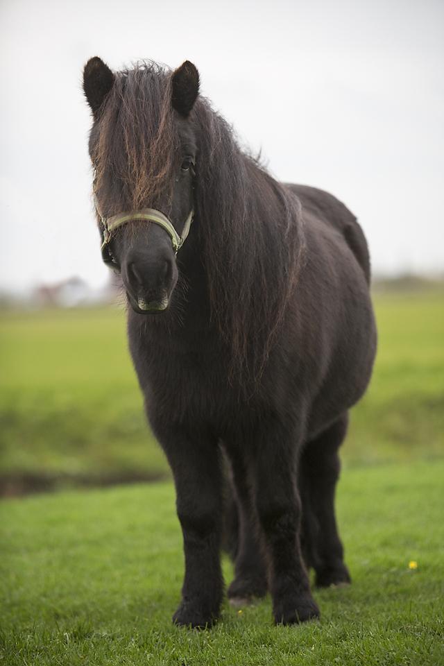 Shetland pony-11104-Sara