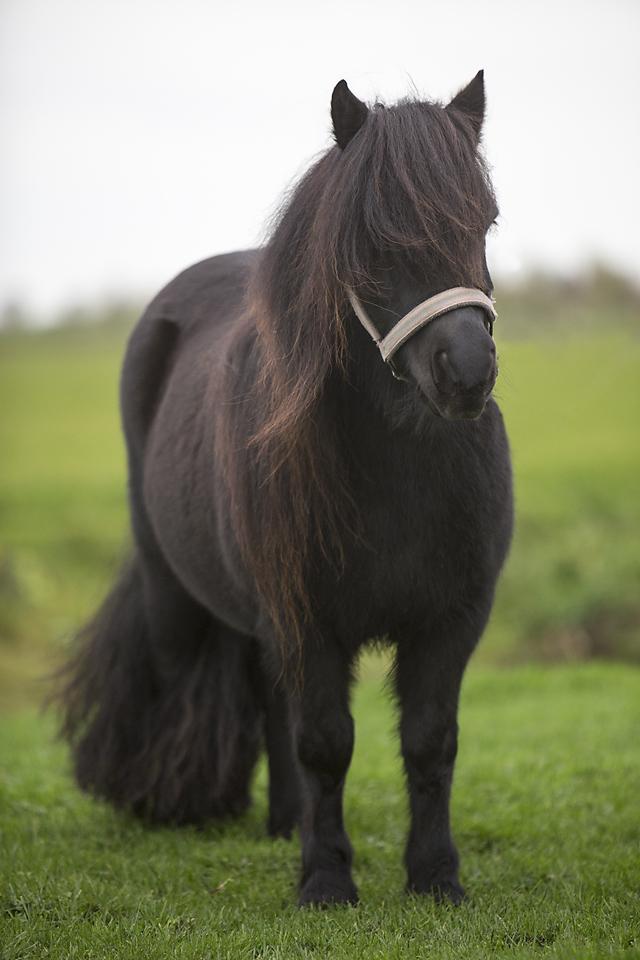 Shetland pony-11105-Wieteke