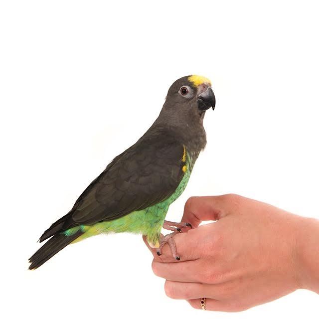 Meyer papegaai-11271-Guus