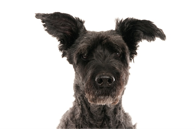 Portrait of a dark gray bouvier with ears up (1 of 1).jpg