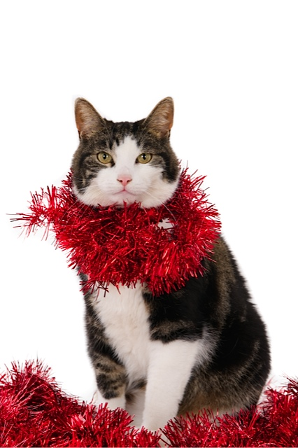 Looking cat with Christmas garlands, isolated on white (1 of 1).jpg