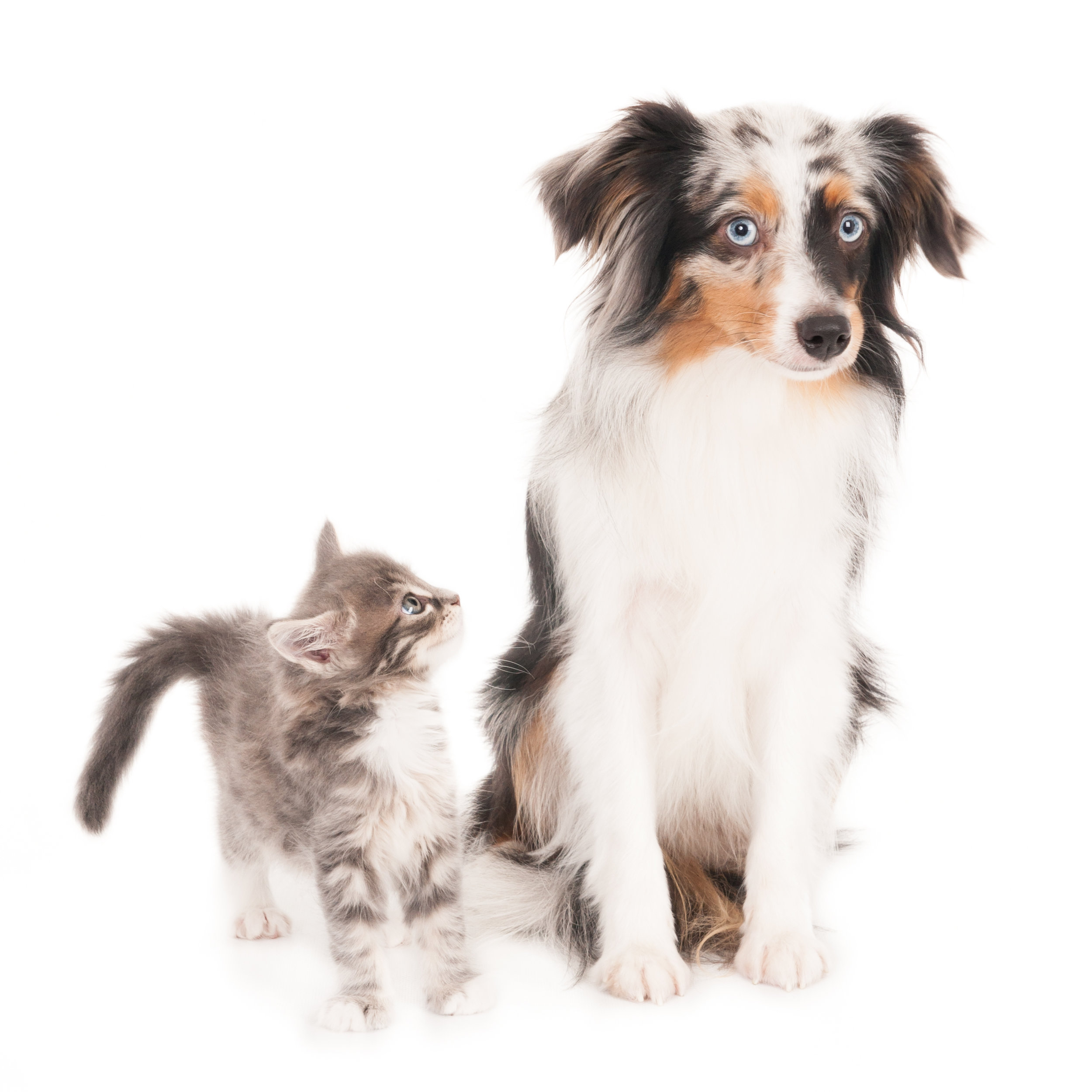 Kitten looking at a small Australian Shepherd Blue Merle dog. On white.jpg