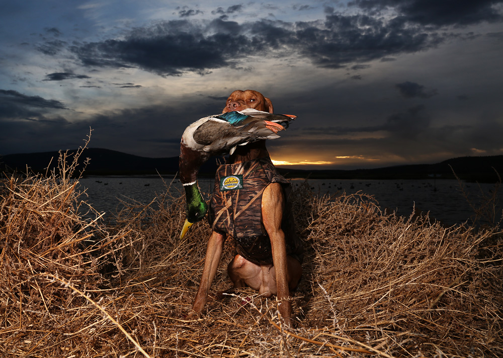 mojo vizsla duck hunting dog
