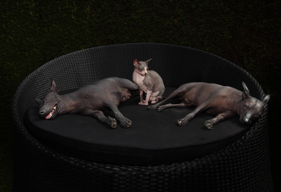 peruvian hairless dogs and sphynx