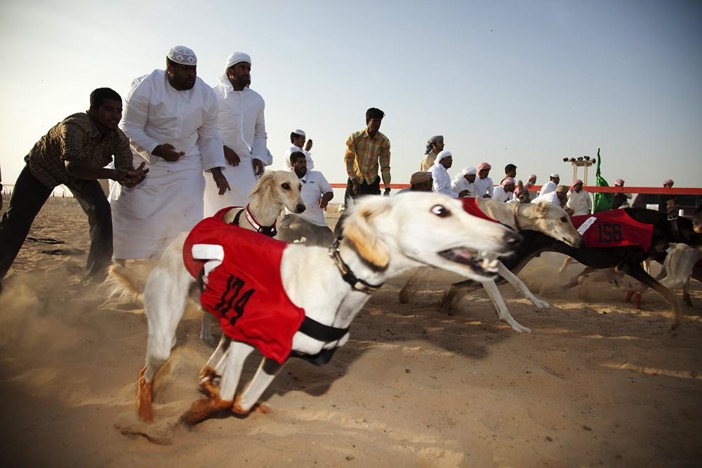 abu dhabi saluki dog race