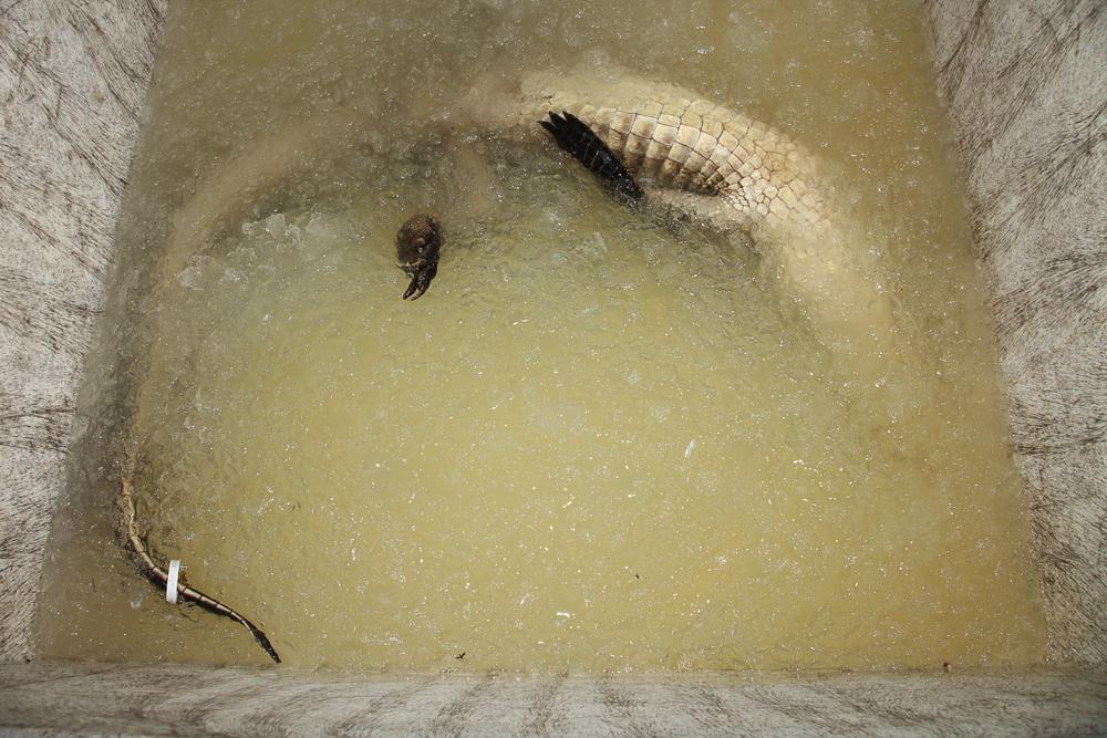 iced alligator