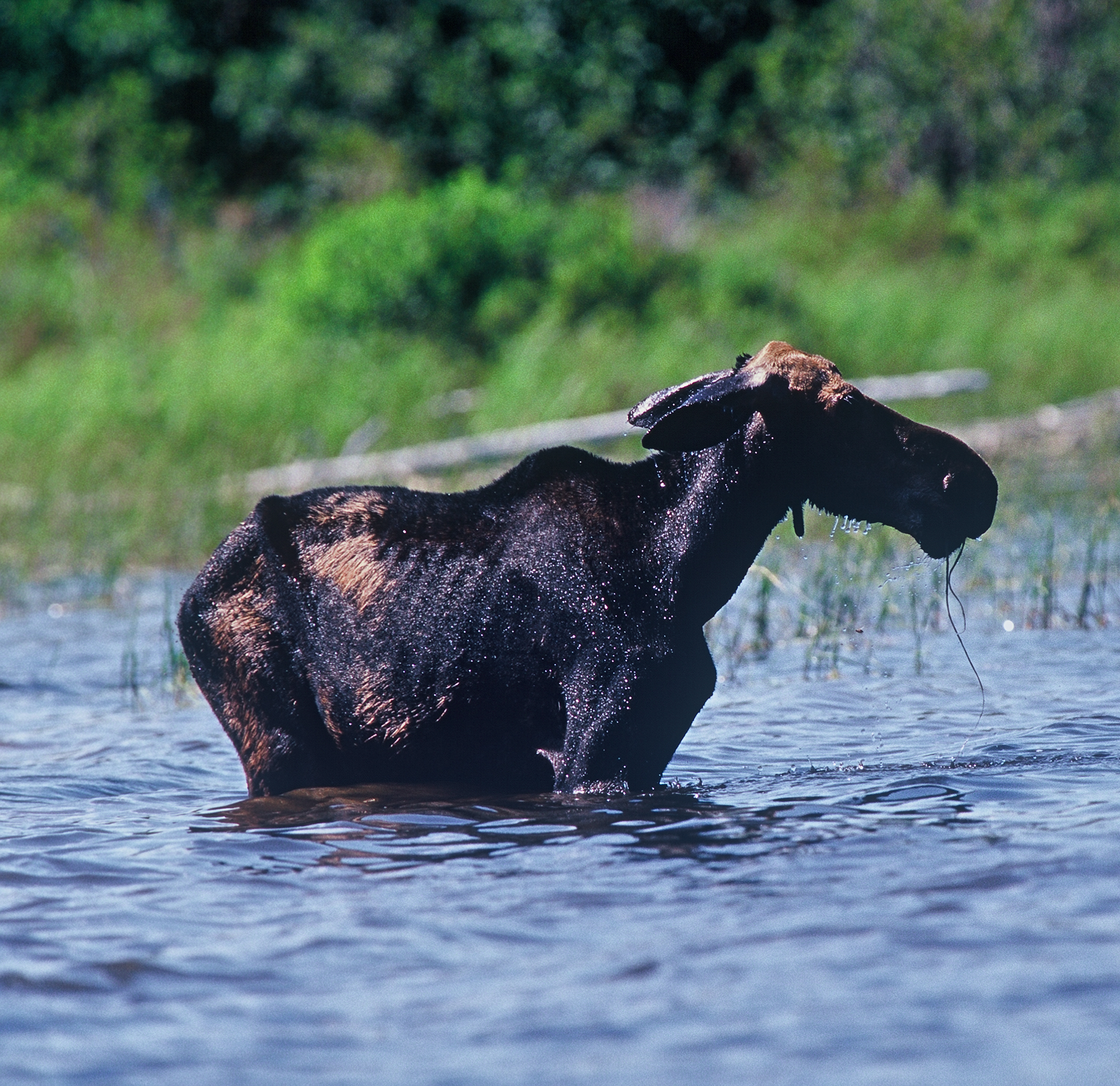 Malnourished cow moose, stressed by high infestation of winter ticks. In order for Vermont's moose population to survive stresses like parasites and diseases they must have adequate habitat.