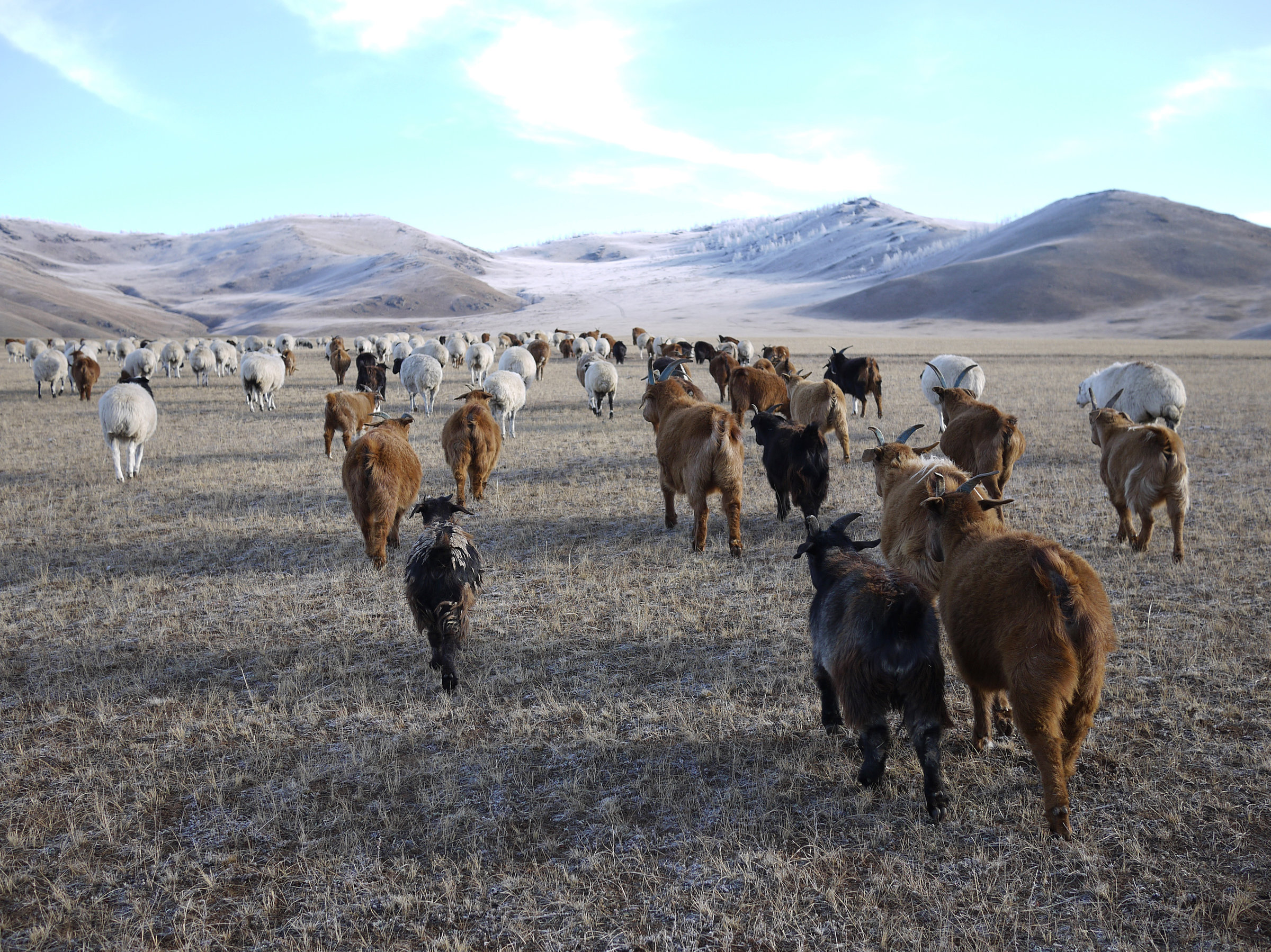 Lkhagvajav Bish's herd of cashmere goats feed on the winter grass in a valley in northeastern Mongolia. The goats' sharp hooves cut through the soil surface, and their eating habits – voraciously ripping up plants by their roots – prevents the grassland from thriving.   Rob Schmitz/NPR
