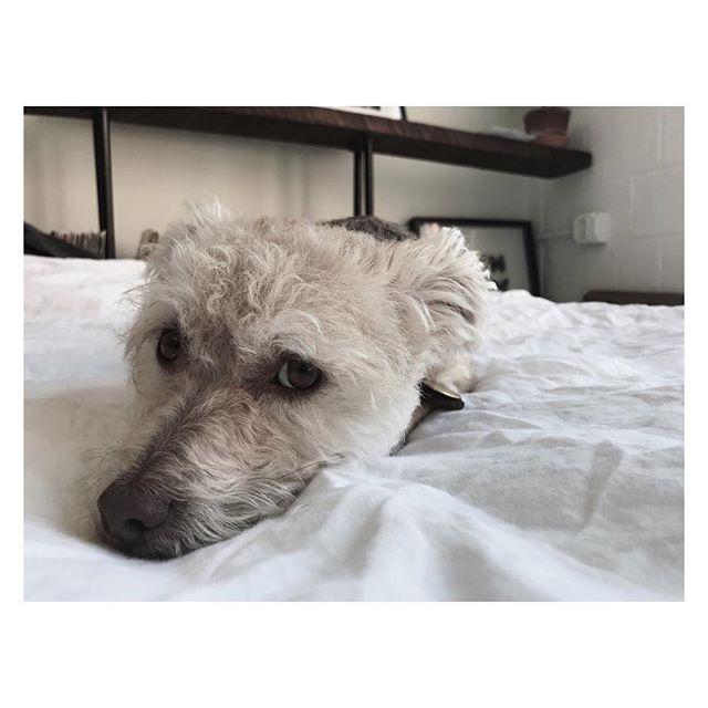 | CHEECH | #love #mutt #dogs #dog #coffee #loft #atl #atlanta #music #instagood #instalove #design #interiors #interiordesign #man #instadog #mansbestfriend #clean #eyes #lay #puppy #atldogs #cheechandchong #nose #eyes