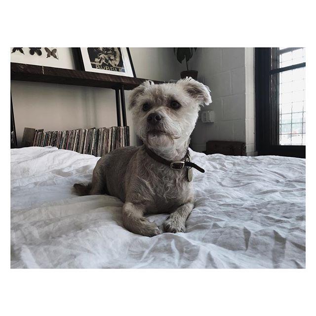| CHEECH | #love #mutt #dogs #dog #coffee #loft #atl #atlanta #music #instagood #instalove #design #interiors #interiordesign #man #instadog #mansbestfriend #clean #eyes #lay #puppy #atldogs #cheechandchong
