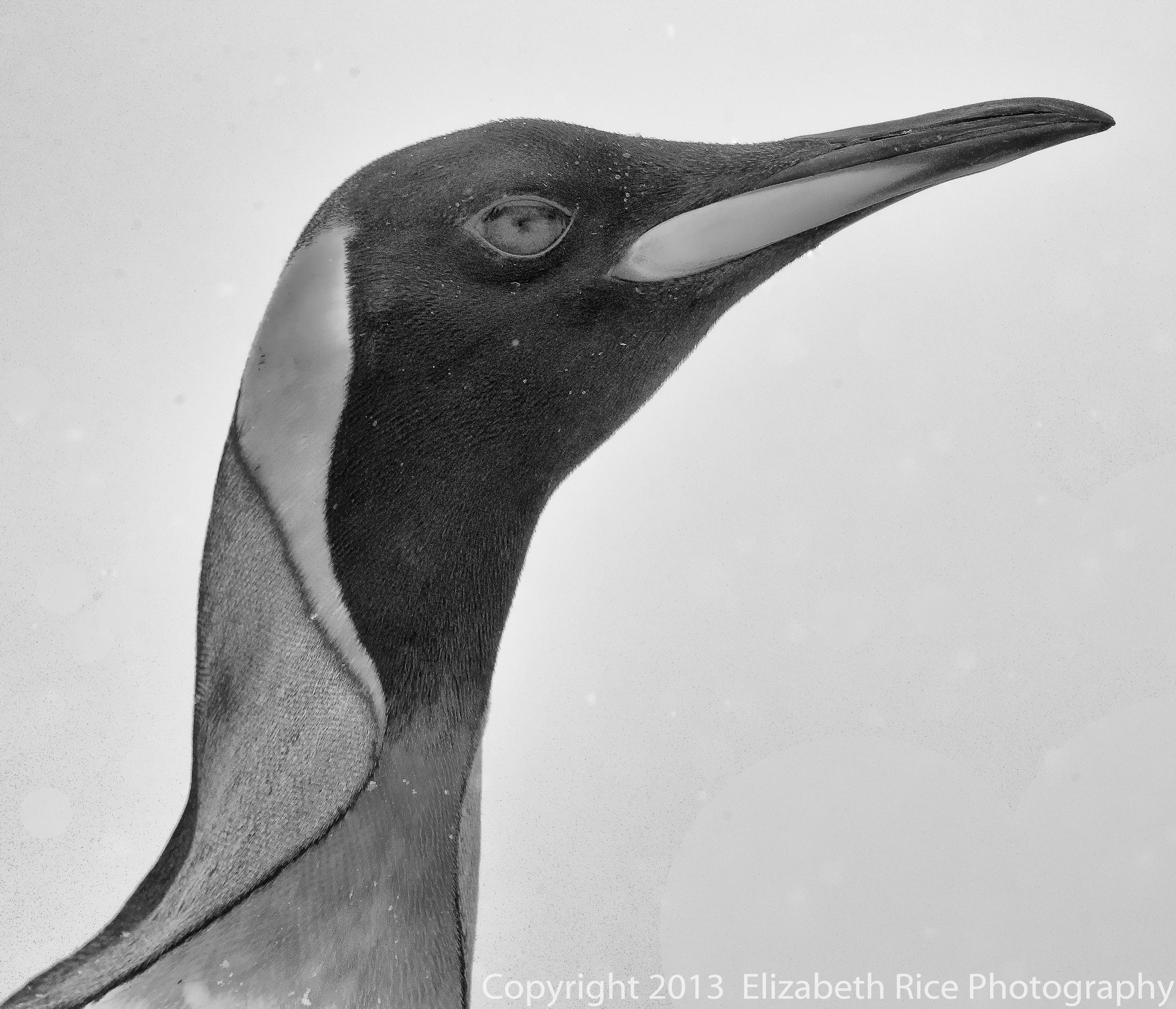 King Penguin BW.jpg