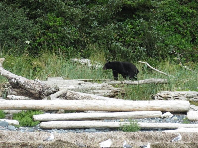 Black bear, Nootka Island.JPG