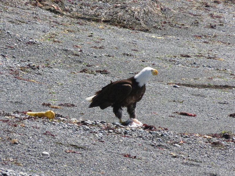 Eagle, Nootka Island.JPG