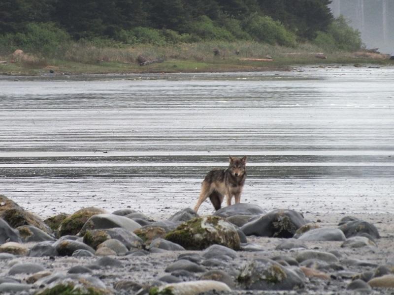 Wolf on the beach at Calvin Falls.JPG
