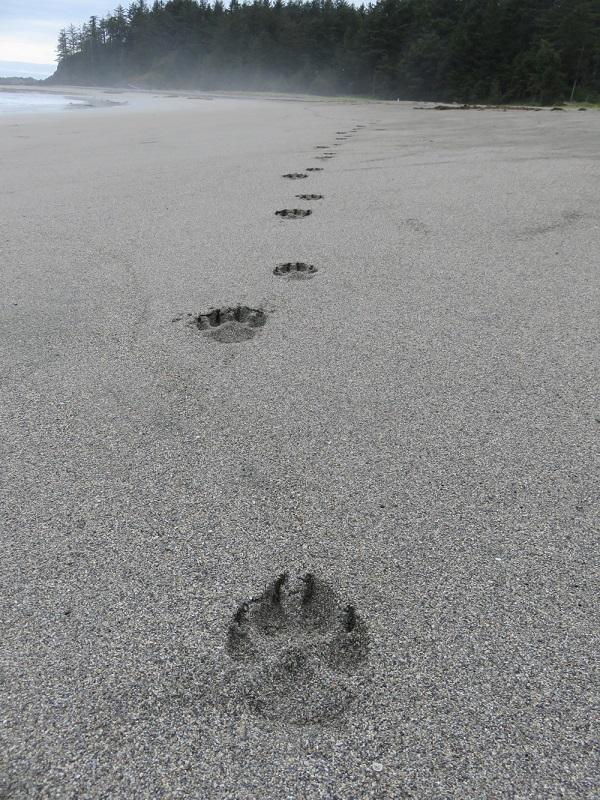 Wolf prints on Nootka Island, guided hike.JPG