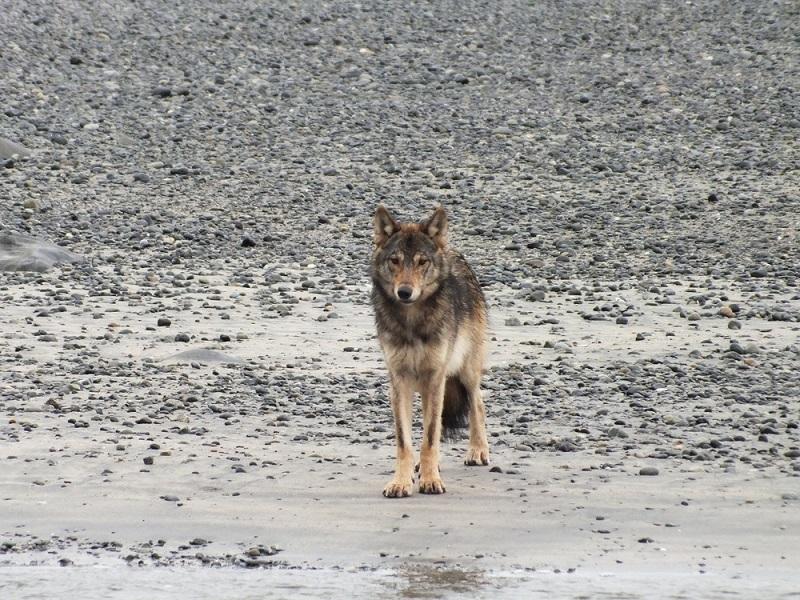 Wolf, Nootka Island guided backpack.JPG