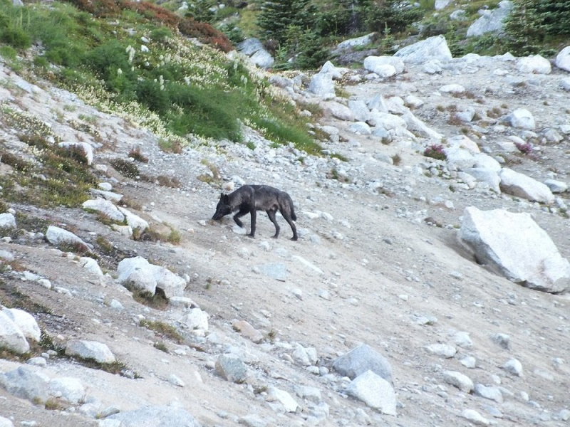 Lone wolf seen on a guided hike.jpg