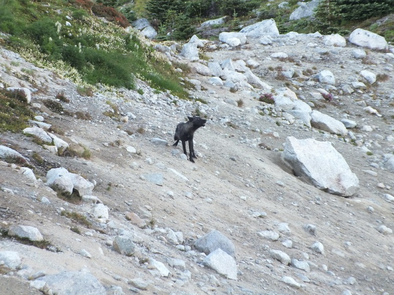 Wolf in the Chilcotins.JPG
