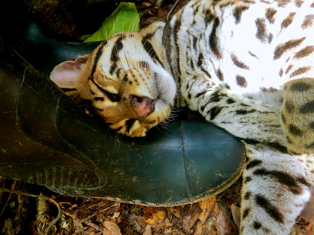 Tigre the Ocelot cuddling with Chelsea's boots