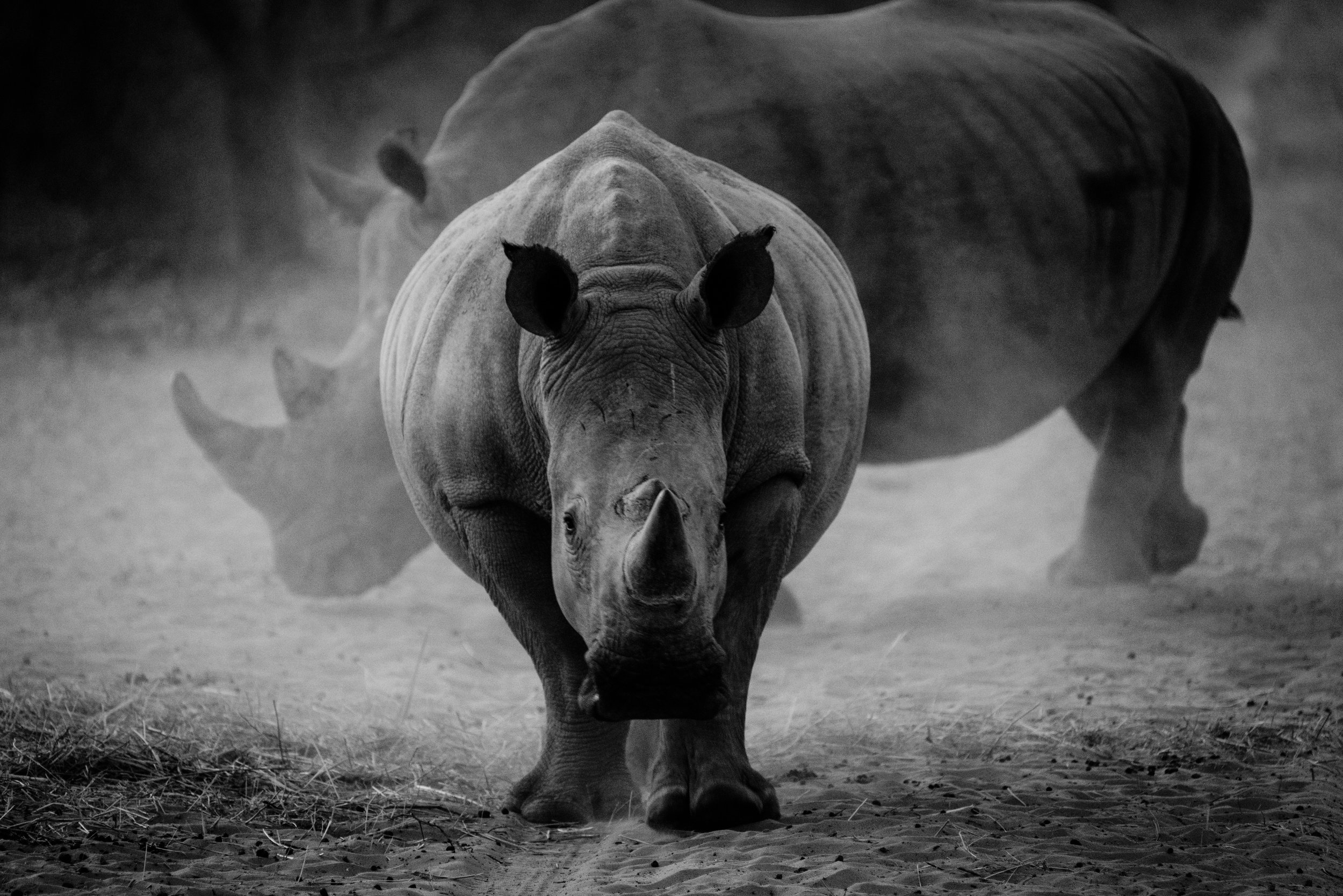 White Rhinos in the Waterberg Plateau National Park