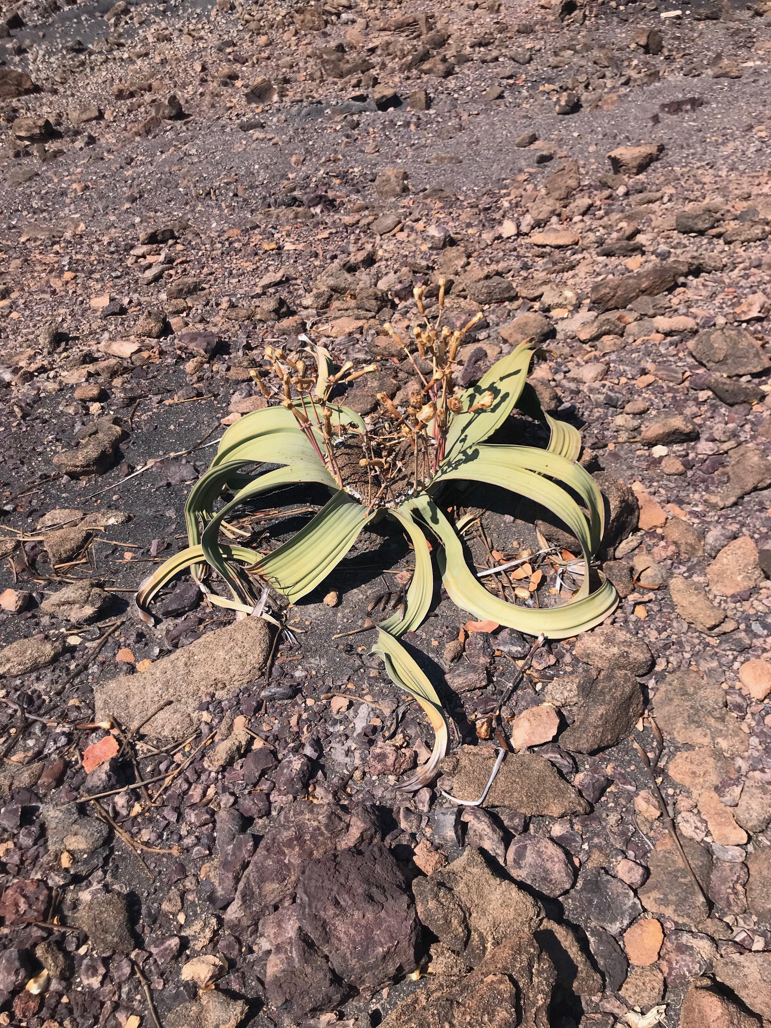 The elusive Welwitschia plant