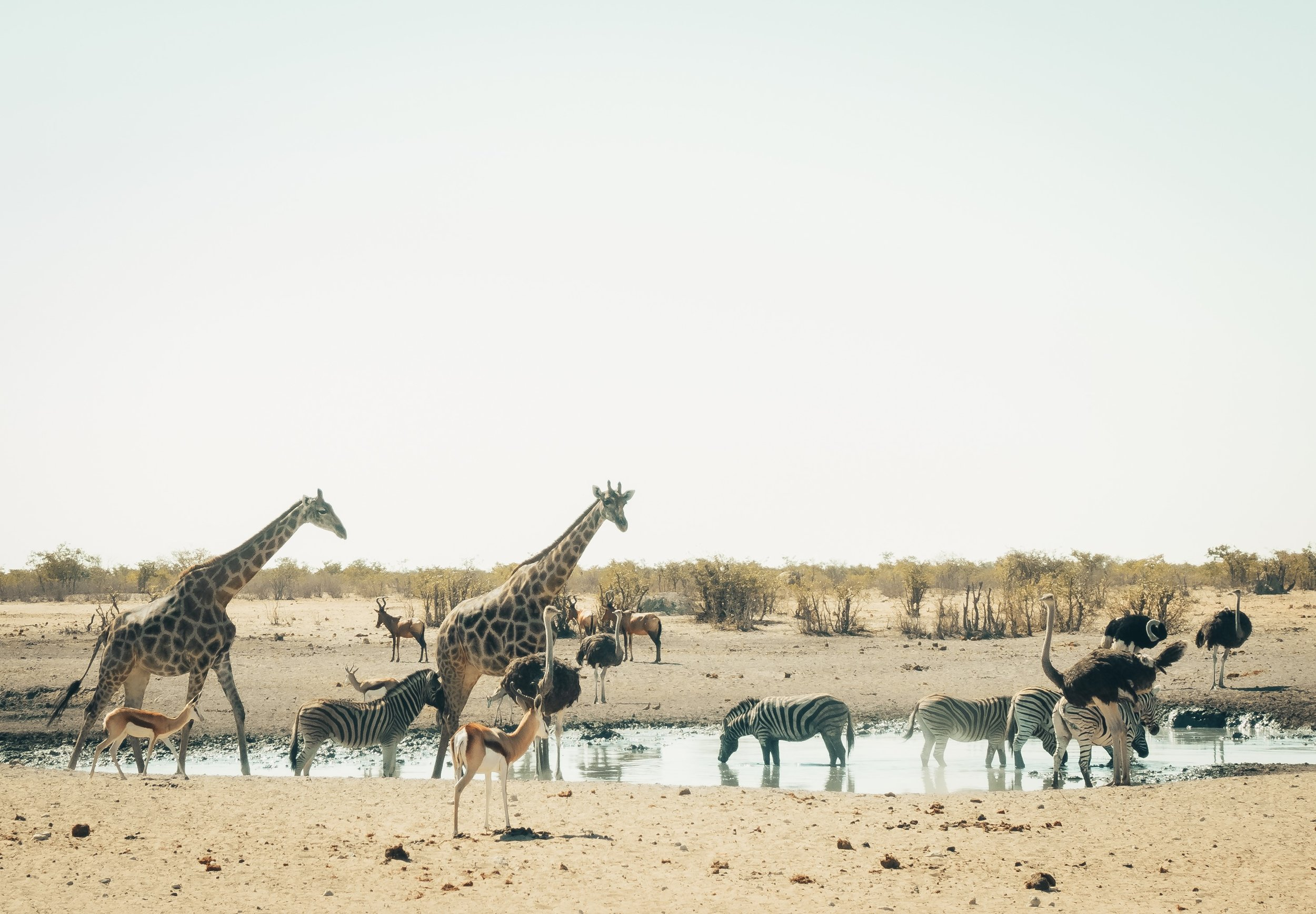 Eastern Etosha: the early afternoon crowd at the waterhole