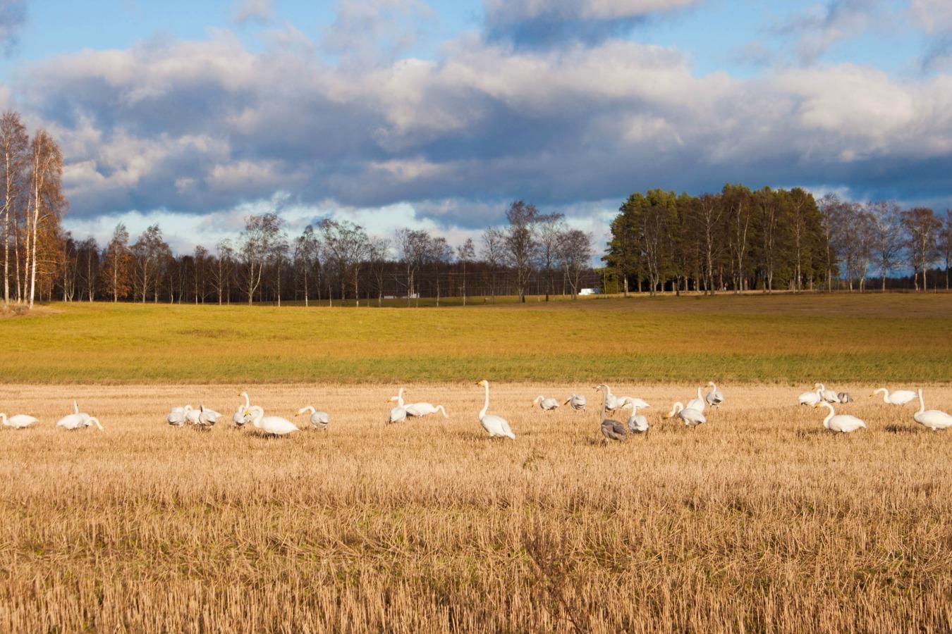 swans :: my blue&white kitchen