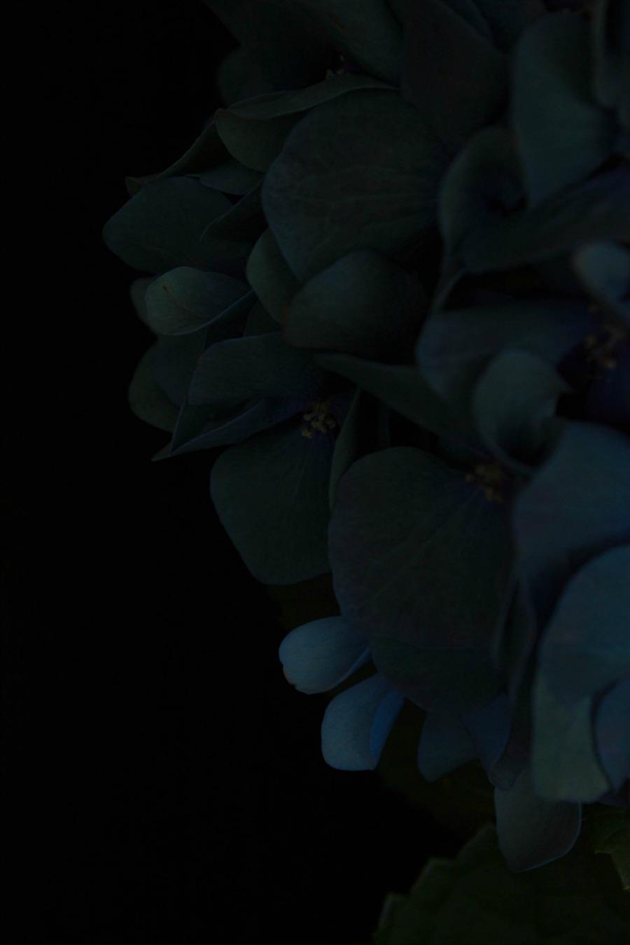 hortensia_2_small.jpg