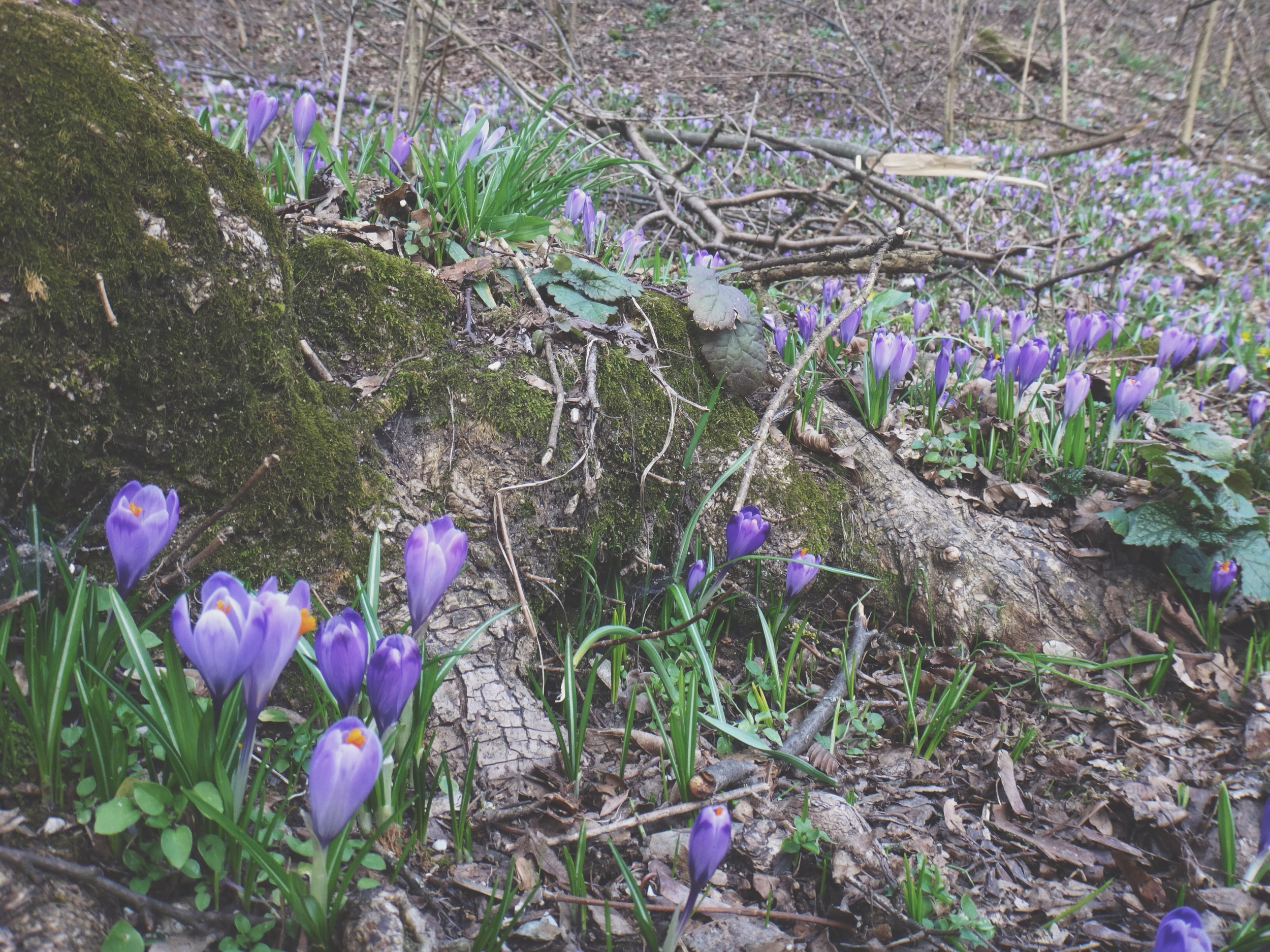 Crocus in Slovenia
