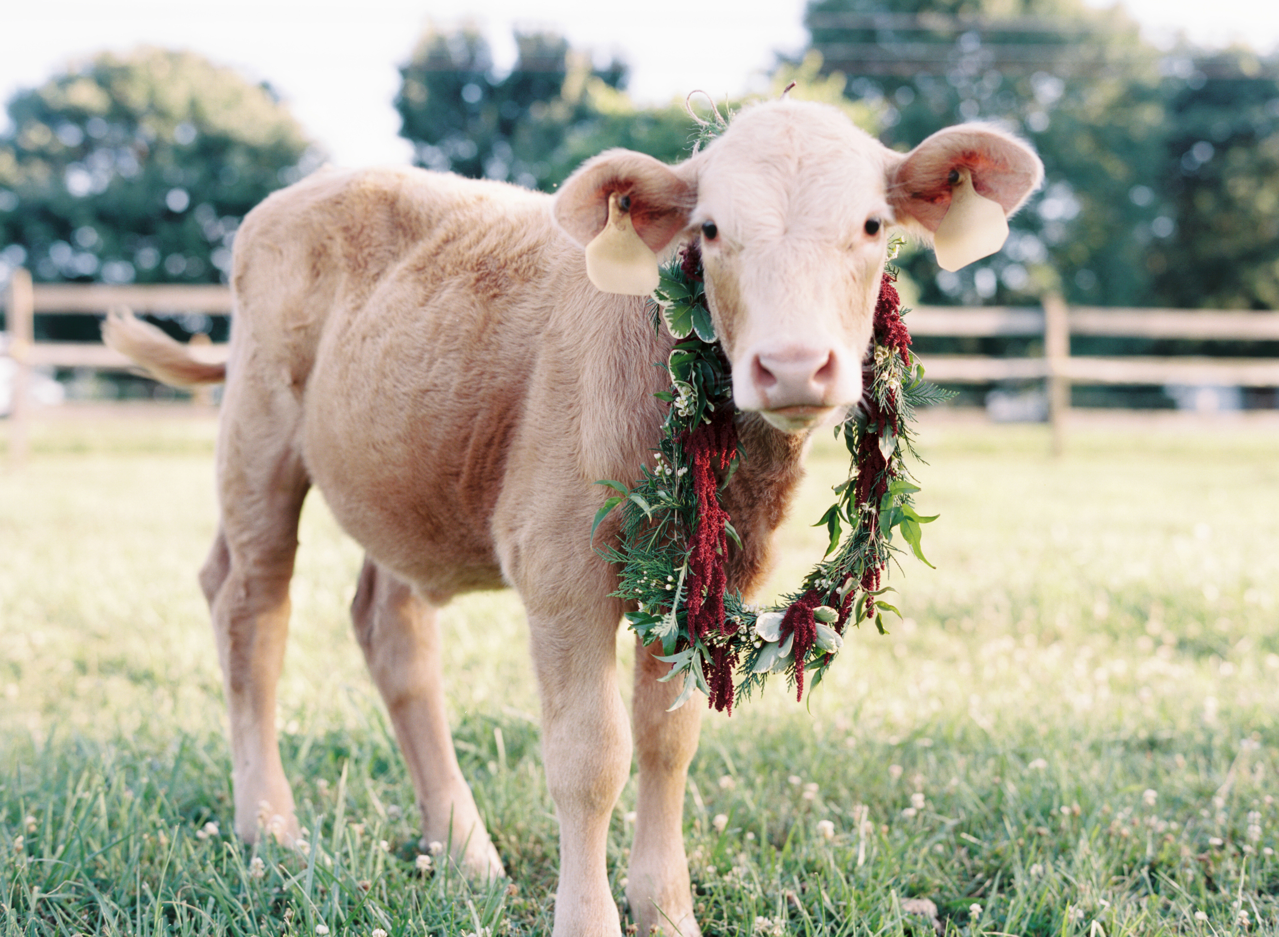 Cow with flower wreath