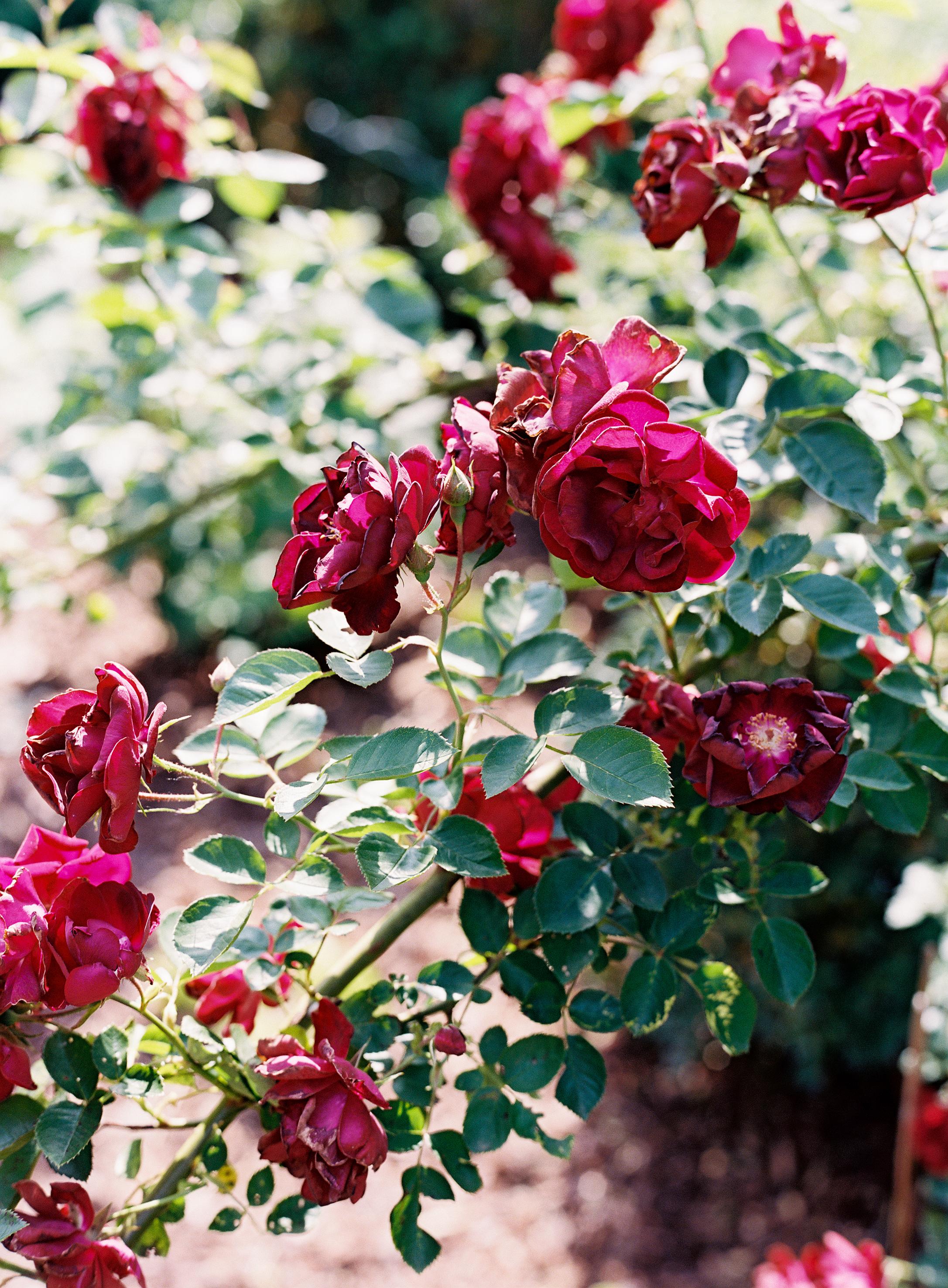 Homegrown roses  // Nashville Wedding Floral Design