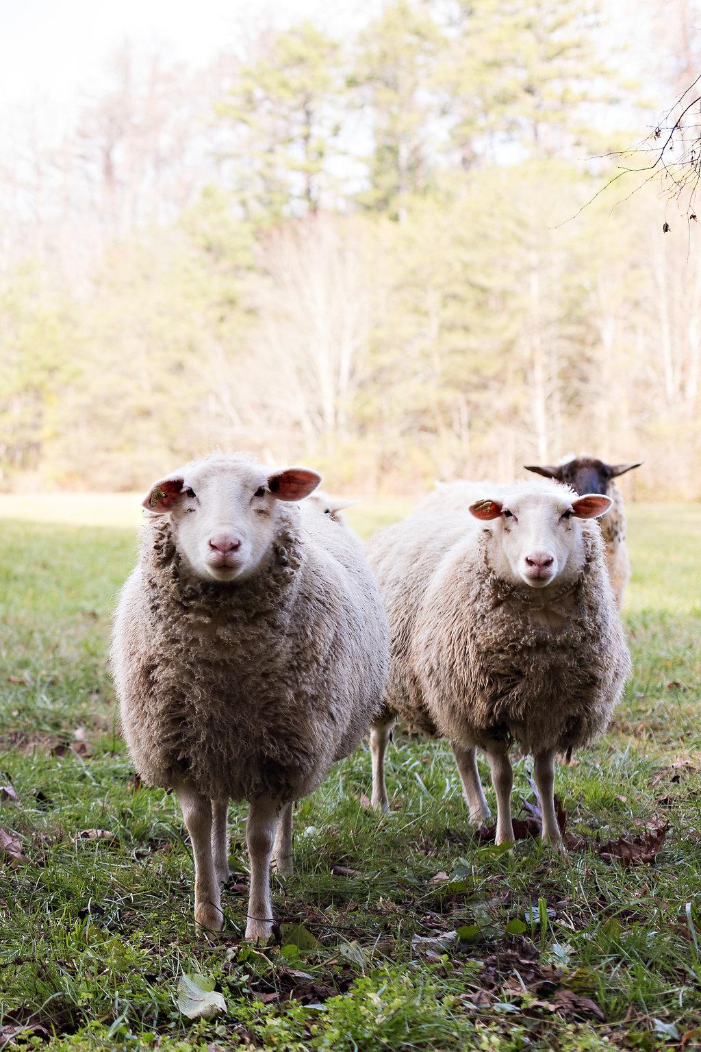Sheep at Blackberry Farm // Nashville + Tennessee Wedding Floral Design