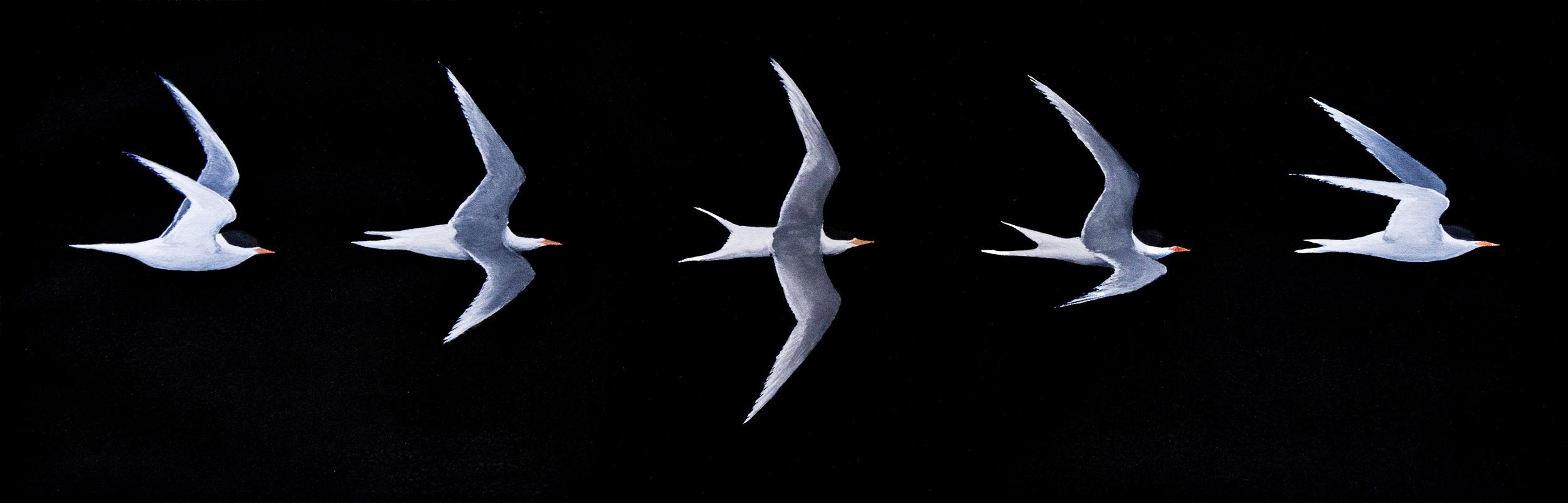 TernFlight.jpg