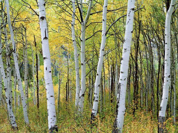 Aspen-Trees-Colorado.jpg