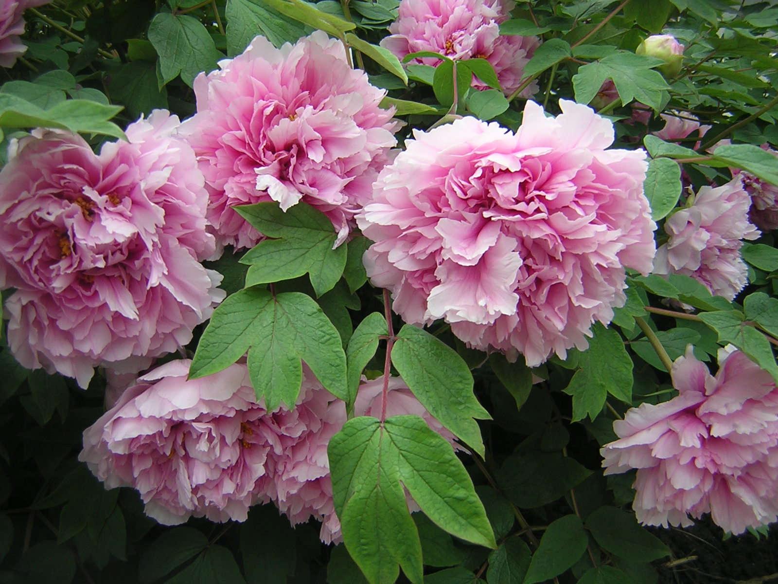 pink-peony-flower-56.jpg