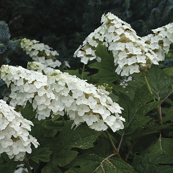 Hydrangea_quercifolia_Snow_Queen_lg.jpg